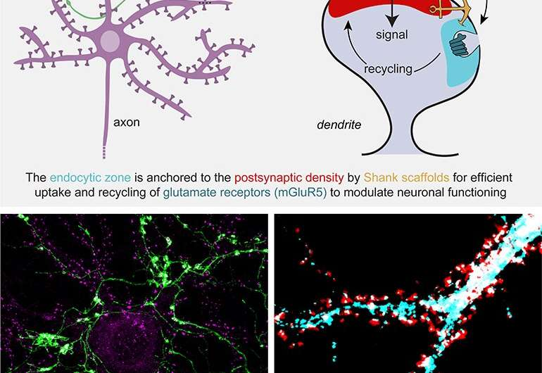 Collaboration between crucial proteins in signal transmission clarified