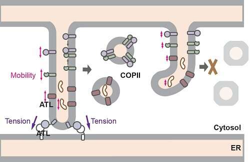 New insights into membrane trafficking regulated by ER fusion protein