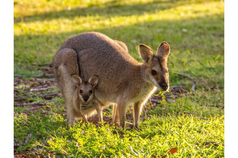 New research could lead to a pregnancy test for endangered marsupials