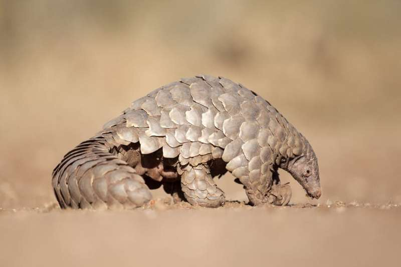 400,000 African pangolins are hunted for meat every year - why it's time to act