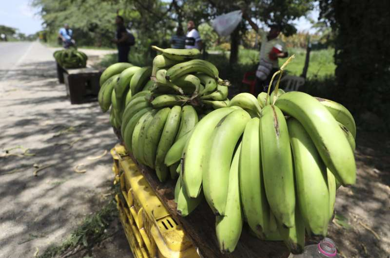 Banana industry on alert after disease arrives in Colombia