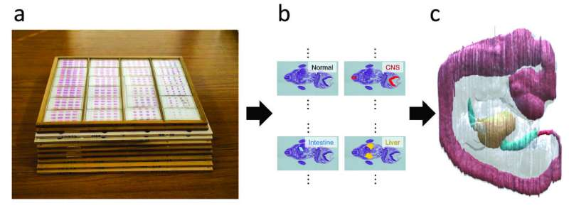 Reconstructing histological slices into 3D images