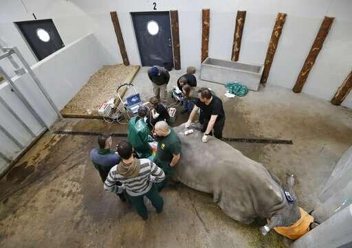 Scientists fine-tune method to save rhinos