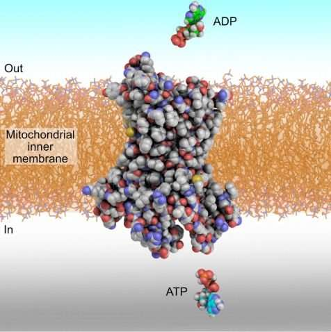 How do carrier proteins transport ADP and ATP in and out of mitochondria?
