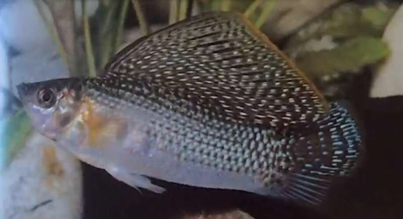 Size matters -- to livebearer fish, big fins are a big deal