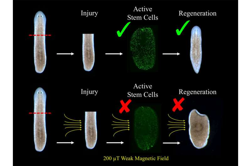 **Flatworms found to regenerate faster or slower when exposed to weak magnetic field