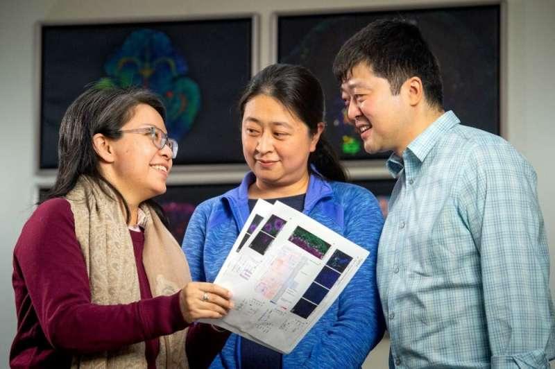 Researchers discover key genomic 'management' partners in brain development