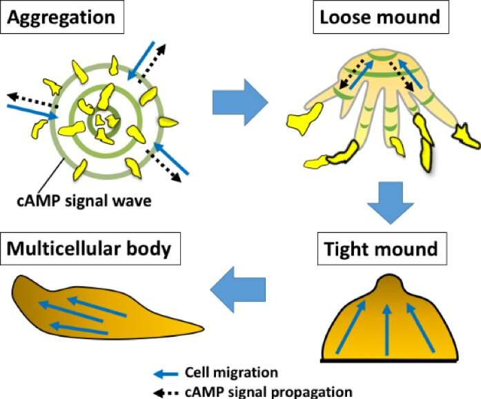 Aggregated social amoebae need physical contact rather than chemical signals for motivation