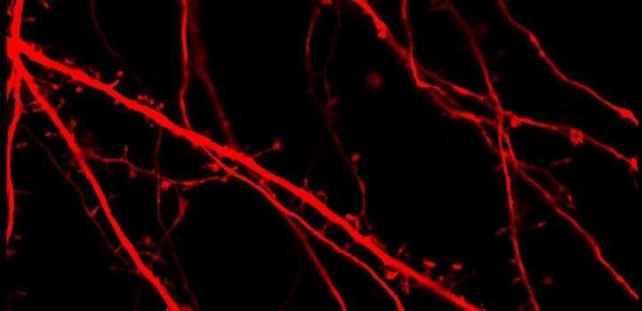 Lactate triggers genes that modify brain activity