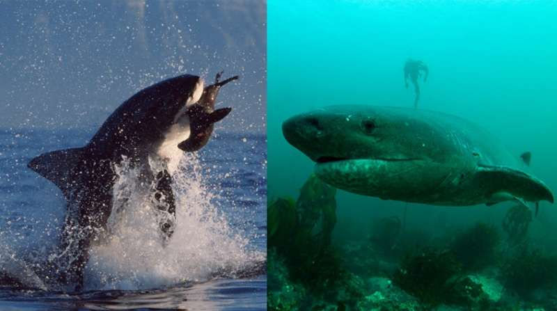 New study finds ecosystem changes following loss of great white sharks