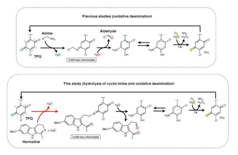 Researchers Look to Nature to Unearth the Secrets of Cyclic Imine Cleavage