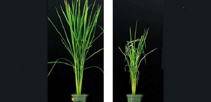 Metabolite stimulates a crop while suppressing a weed