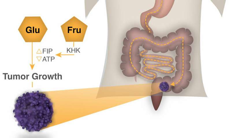 High-fructose corn syrup boosts intestinal tumor growth in mice