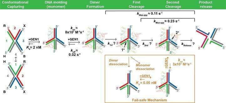 A fail-safe mechanism for DNA repair