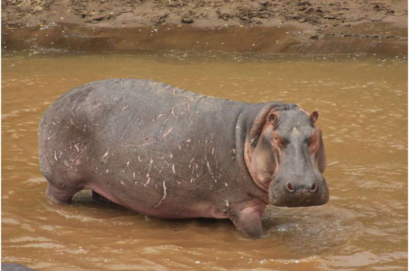 **Hippos, the animal silicon pumps