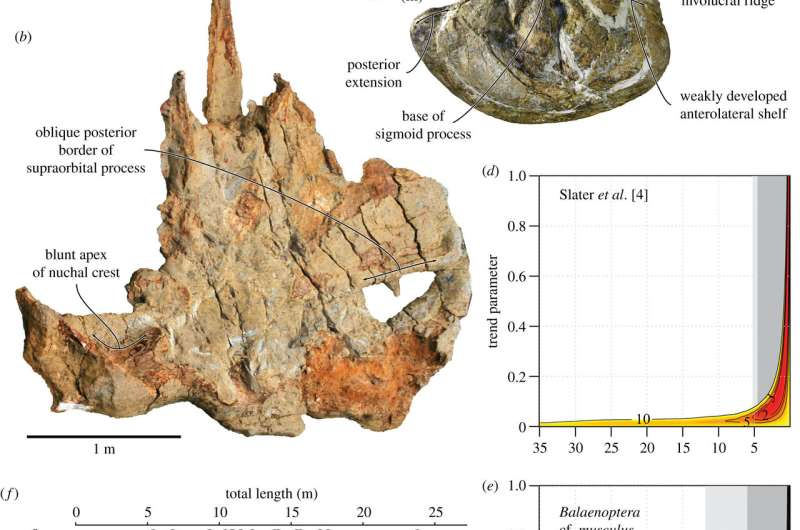 Blue whale fossil provides evidence that baleens grew large earlier than thought