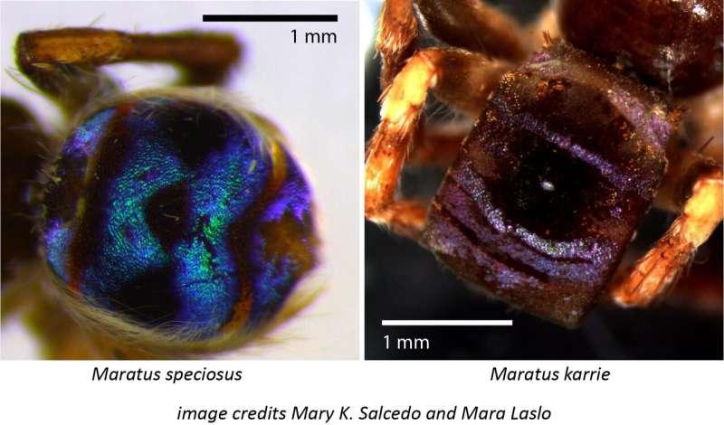Bumps on peacock spider make dark spots super-dark