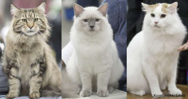 Heritable behavioural differences between cat breeds