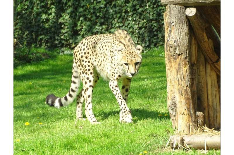 Early first pregnancy is the key to successful reproduction of cheetahs in zoos