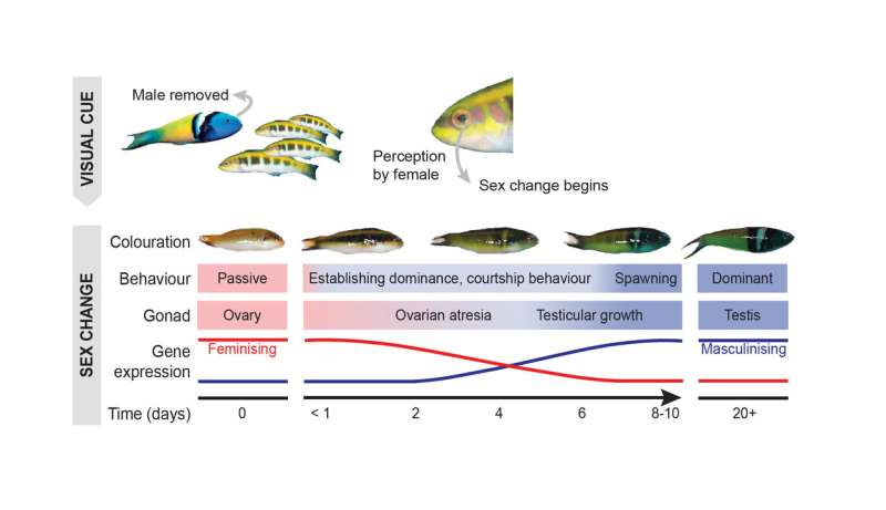 Secrets of a sex-changing fish revealed