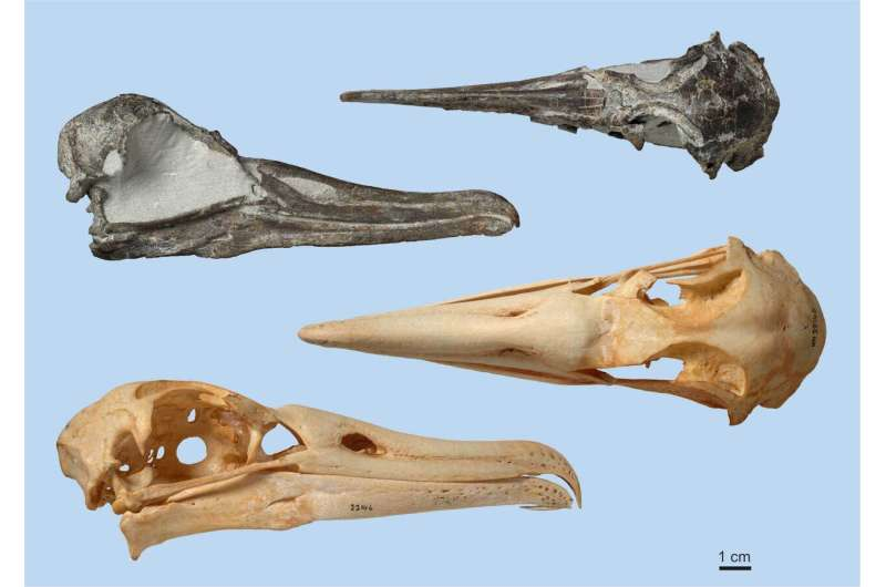 Scientists describe an almost complete albatross skull from the pliocene epoch