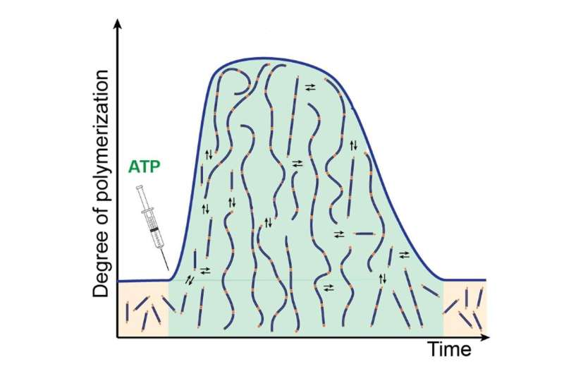 How cellular fibers form and maintain dynamic states