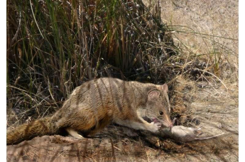 Cute marsupial had a fierce fossil relative