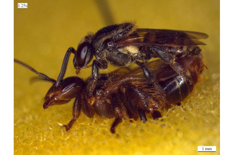 Queen bees face increased chance of execution if they mate with two males rather than one