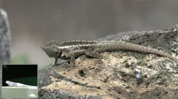 Realistic robots get under Galapagos lizards' skin