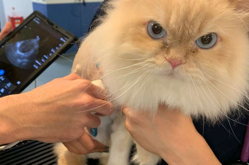 Early detection is key: Screening test could improve lives of cats with heart disease