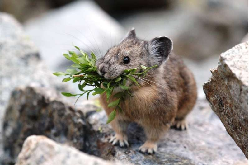 Study shows geography, not genetics more influential regarding American pika's response to climate change