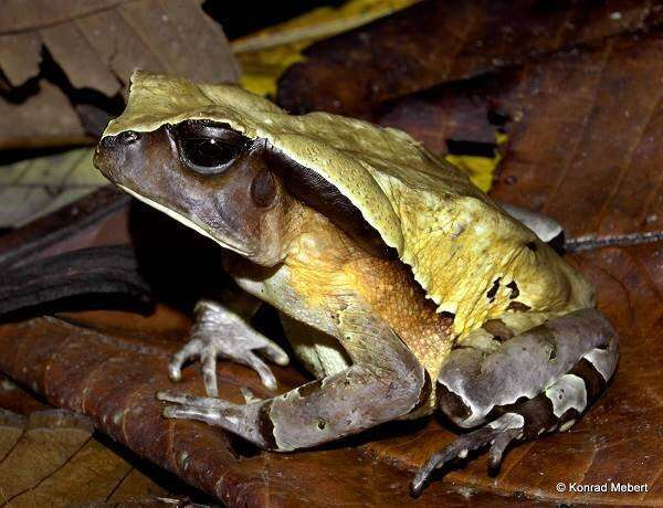 Toad disguises itself as deadly viper to avoid attack – world first study reports