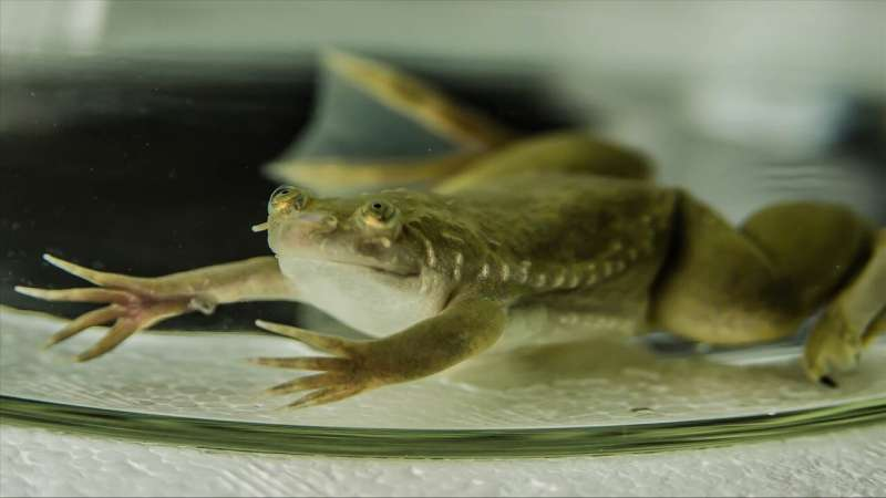 Researchers discover remarkable variation in genetic mechanisms that drive sexual differentiation of frogs