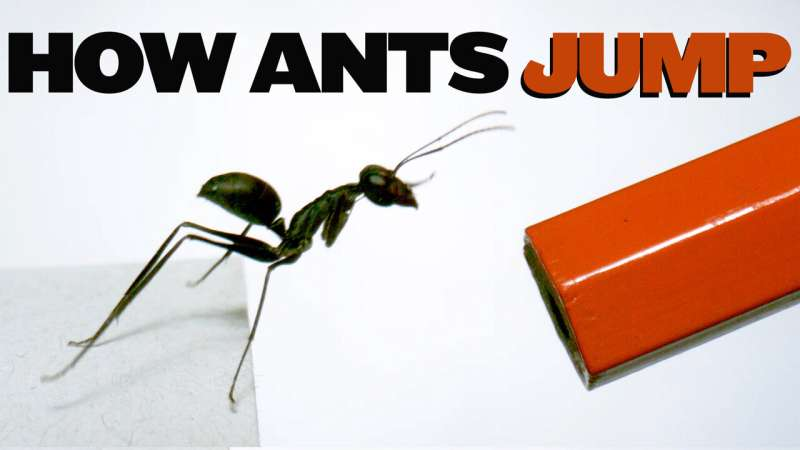 Researchers discover how ant species uses abdomen for extra power during jumps