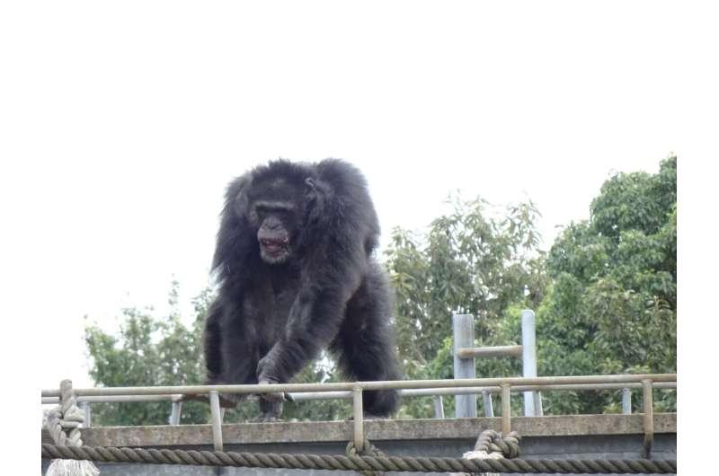 Chimpanzees found to spontaneously dance to music