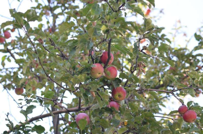 Exploring the origins of the apple