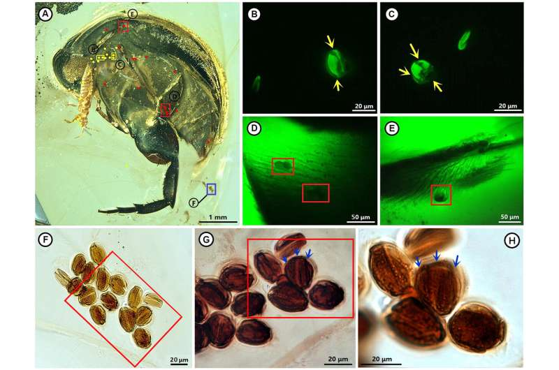 Earliest evidence of insect-angiosperm pollination found in Cretaceous Burmese amber