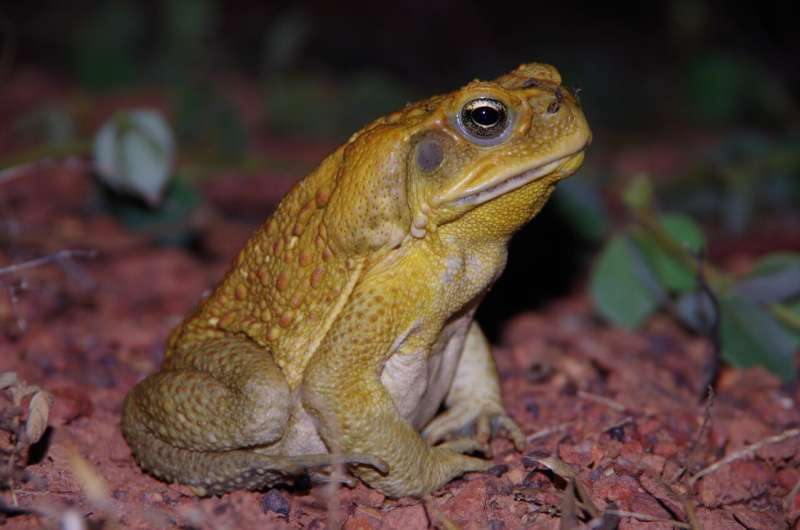 New research finds cane toads use poison as a last resort