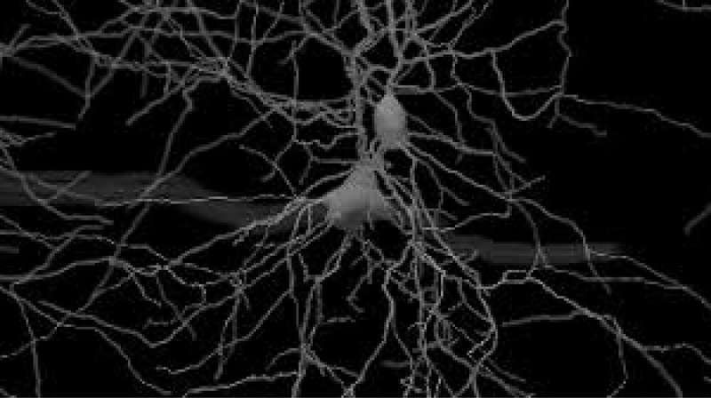 Researcher discovers subcellular computations within the brain during decision-making