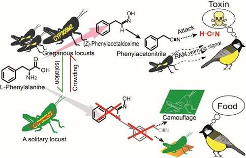 Scientists identify toxic antipredator defense mechanism in locusts