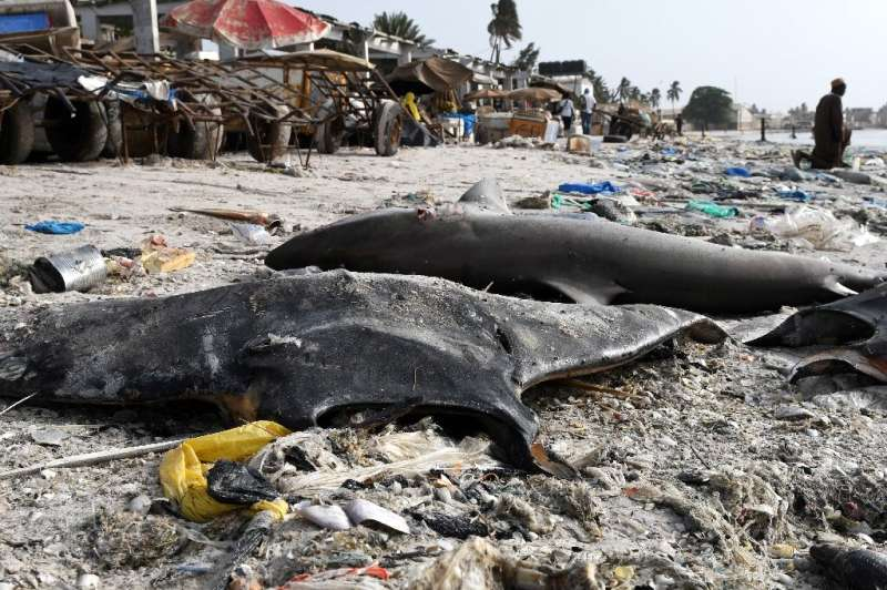 The International Union for the Conservation of Nature (IUCN) said in March that 17 species of rays and sharks face extinction