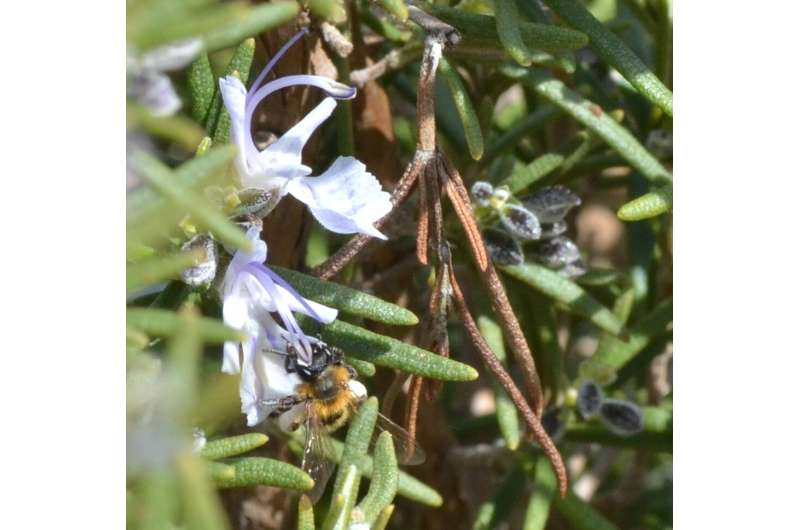 Climate change: bees are disorientated byflowers' changing scents