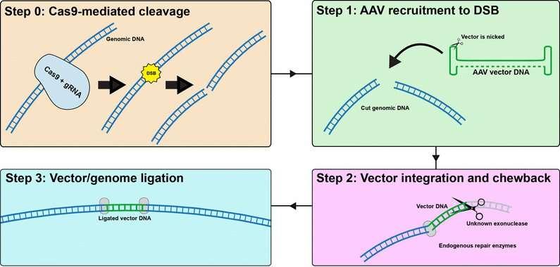 AAV vector integration into CRISPR-induced DNA breaks