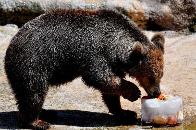A bear eats iced fruit to cool off at the Rome zoo (Bioparco di Roma) as temperatures reach 36 degrees Celsius in the Italian ca