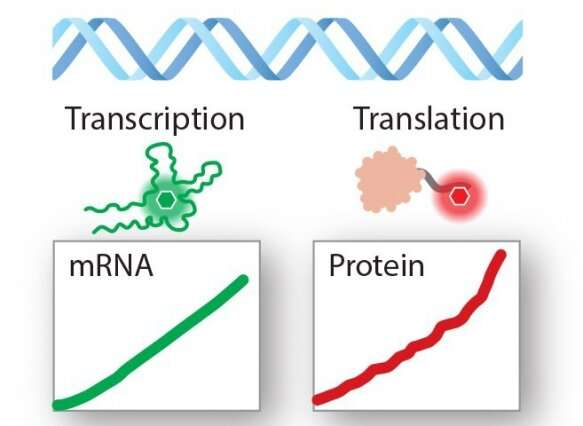 """A """"biomultimeter"""" to measure RNA and protein production in real-time"""
