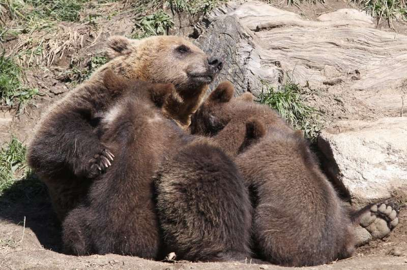 About 50 brown bears live on the French side of the Pyrenees mountains that straddle the border with Spain