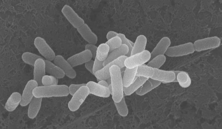 Adaptation to life in cattle may be driving E. coli to develop harmful features