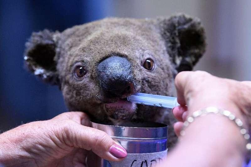 A dehydrated and injured Koala receives treatment at the Port Macquarie Koala Hospital