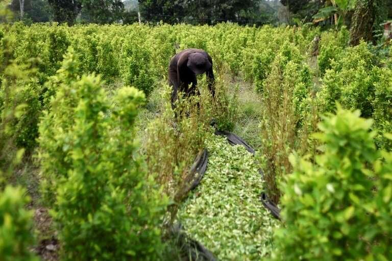 A farmer collects coca leaves at a plantation in Colombia's Catatumbo region, Norte de Santander department, on February 8, 2019