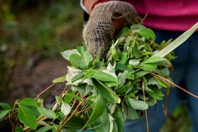 A farmer gathers coca leaves at a plantation in the Catatumbo region: some 130,000 families have signed up to the Colombian gove